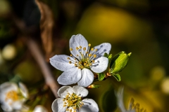 Frühlingsblüte von Fabian Maximilian Ibelherr