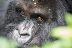 Berg-Gorilla in den Virunga-Bergen in Ruanda (Foto: Peter Schreyer)
