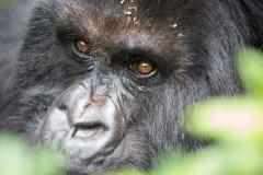 Berg-Gorilla in den Virunga-Bergen in Ruanda (Foto: Peter Schreyer)