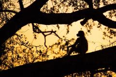 Schimpanse in freier Wildbahn in Uganda (Foto: Peter Schreyer)