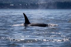 Orca vor Vancouver Island (Foto: Andreas Ochsenkühn)