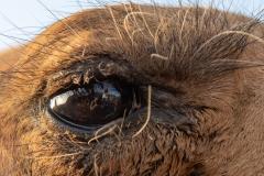 Auge um Auge mit einem Kamel (Foto: Peter Schreyer)
