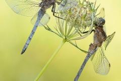 Zwei verliebte Libellen von Birgit Kindsmüller