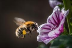 Eine flotte Biene von Thomas Hirschmann