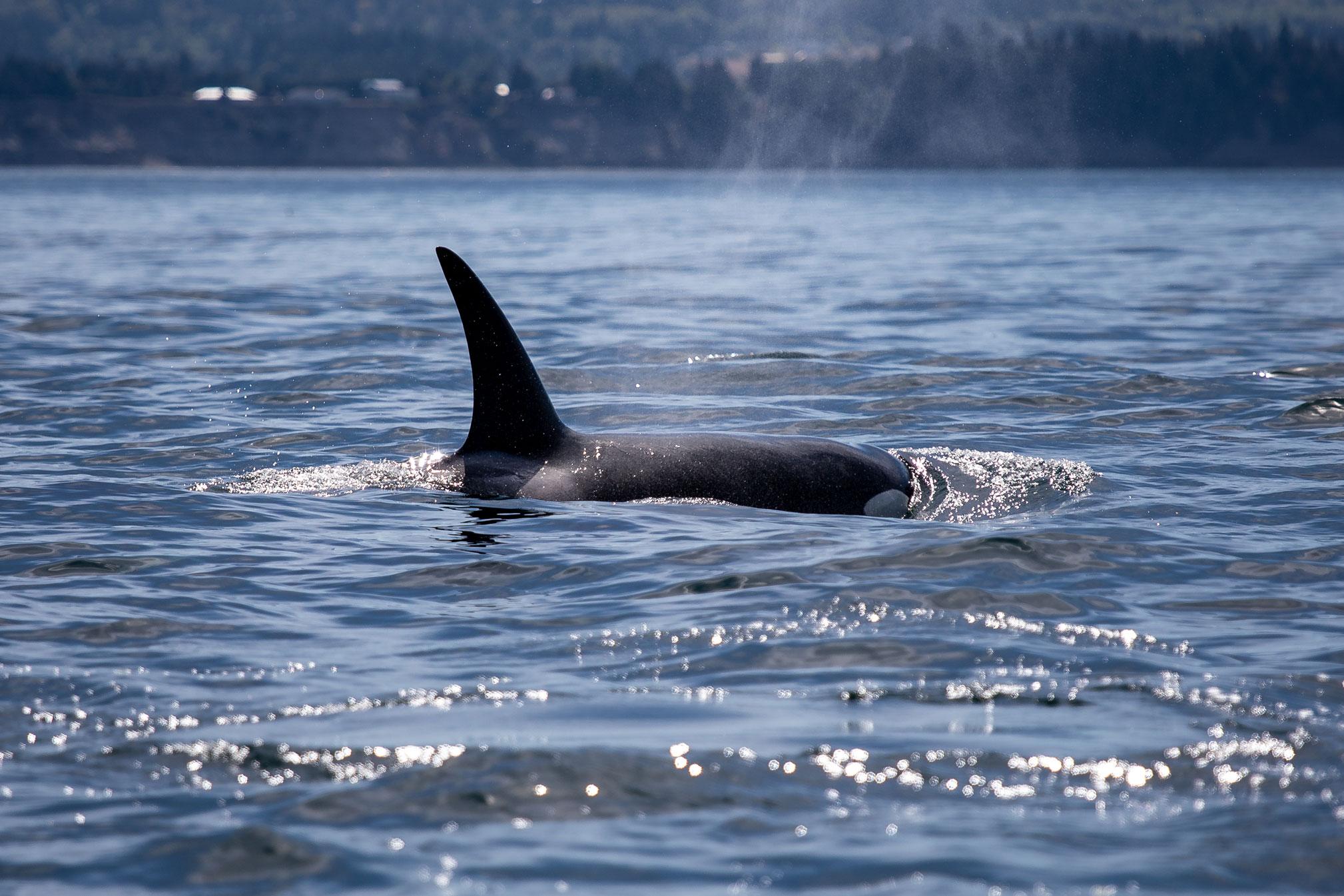 Orca vor Vancouver Island