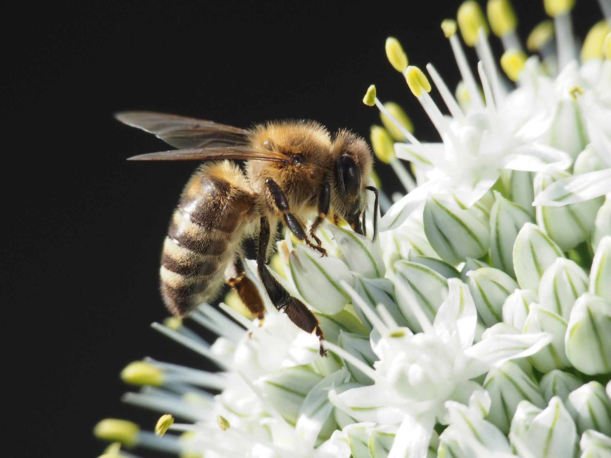 Biene auf Blüte von Ute Sauer
